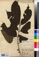 Filed as Aidia quitasii (K.Schum.) G.Taylor [family RUBIACEAE]