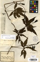 Filed as Merremia dissecta (Jacq.) Hallier f. [family CONVOLVULACEAE]