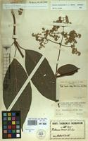 Isotype of Mikania miconioides B.L.Rob. [family COMPOSITAE]