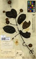 Filed as Uncaria guianensis (Aubl.) J.F.Gmel. [family RUBIACEAE]