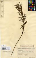 Isotype of Eria podochiloides Schltr. [family ORCHIDACEAE]