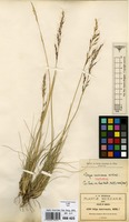 Isotype of Stipa mexicana Hitchc. [family GRAMINEAE]