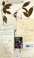 Filed as Rhodognaphalon lukayense (De Wild. & T.Durand) A.Robyns [family BOMBACACEAE]