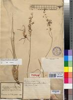Isotype of Tricholaena grandiflora Hochst. ex A.Rich. [family POACEAE]