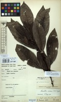 Filed as Lasianthus seseensis M.Taylor [family RUBIACEAE]