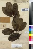 Isotype of Alafia major Stapf [family APOCYNACEAE]