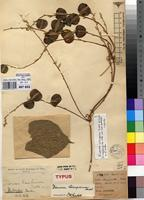 Filed as Dioscorea schimperiana Hochst. ex Kunth [family DIOSCOREACEAE]