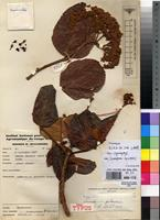 Holotype of Psorospermum pubescens Spirlet [family CLUSIACEAE]
