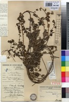 Holotype of Kosteletzkya adoensis (Hochst. ex A.Rich.) Mast. forma repens Hauman [family MALVACEAE]