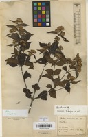 Filed as Baccharis sp. [family COMPOSITAE]