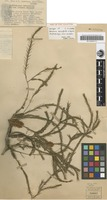 Holotype of Melaleuca densispicata Byrnes [family MYRTACEAE]