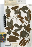 Isotype of Kunstleria borneensis Merr. [family FABACEAE]