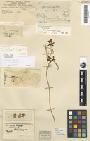 Holotype of Diuris punctata Sm. forma blakneyae F.M.Bailey [family ORCHIDACEAE]