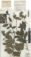 Isotype of Cyclophyllum longipetalum S.T.Reynolds & R.J.F.Hend. [family RUBIACEAE]
