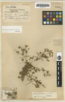 Holotype of Calotis squamigera C.T.White [family ASTERACEAE]