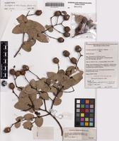 Isotype of Corymbia setosa (Schauer) K.D.Hill & L.A.S.Johnson subsp. pedicellaris K.D.Hill & L.A.S.Johnson [family MYRTACEAE]
