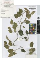 Holotype of Parsonsia longipetiolata J.B.Williams [family APOCYNACEAE]