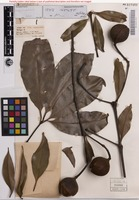 Holotype of Helicia whelani F.M.Bailey [family PROTEACEAE]