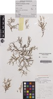 Holotype of Dictyopteris secundispiralis J.A.Phillips [family DICTYOTACEAE]
