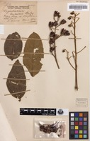 Holotype of Lagerstroemia archeriana F.M.Bailey [family LYTHRACEAE]