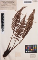 Isotype of Polystichum papuanum C.Chr. [family DRYOPTERIDACEAE]