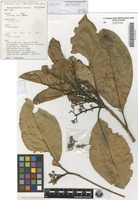 Isotype of Beilschmiedia volckii B.Hyland [family LAURACEAE]