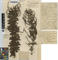 Isotype of Acacia baileyana F.Muell. [family MIMOSACEAE]