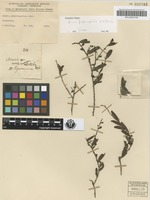 Holotype of Acacia purpureopetala F.M.Bailey [family MIMOSACEAE]
