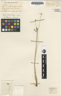 Isotype of Fimbristylis brachylaena F.Muell. [family CYPERACEAE]