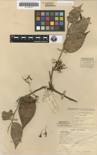 Isotype of Agapetes carrii Sleumer [family ERICACEAE]