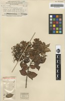 Isotype of Decaspermum nitentifolium Merr. & L.M.Perry [family MYRTACEAE]