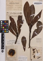 Holotype of Placospermum coriaceum C.T.White & W.D.Francis [family PROTEACEAE]