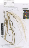 Holotype of Digitaria basaltica B.K.Simon [family POACEAE]