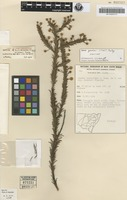 Isotype of Acacia brunioides A.Cunn. ex G.Don subsp. gordonii Tindale [family MIMOSACEAE]