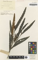 Isotype of Grevillea longifolia R.Br. [family PROTEACEAE]