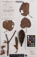 Isotype of Brachychiton spectabilis Guymer [family STERCULIACEAE]
