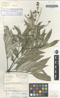 Holotype of Mischocarpus albescens S.T.Reynolds [family SAPINDACEAE]