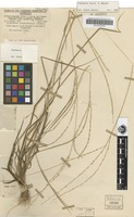 Isotype of Digitaria oraria R.D.Webster [family POACEAE]