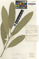 Isotype of Melicope longior T.G.Hartley [family RUTACEAE]
