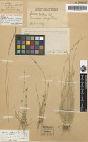 Holotype of Sporobolus benthamii F.M.Bailey [family POACEAE]