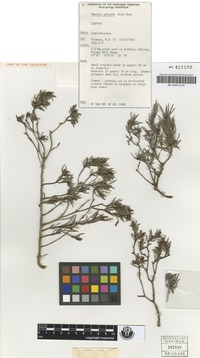 Isotype of Amperea spicata Airy Shaw [family EUPHORBIACEAE]