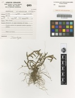 Isotype of Bulbophyllum windsorense B.Gray & D.L.Jones [family ORCHIDACEAE]