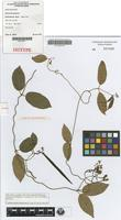 Isotype of Parsonsia grayana J.B.Williams [family APOCYNACEAE]