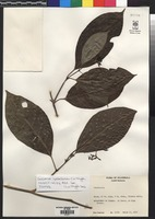 Isotype of Courssarea izabalensis C.M. Taylor [family RUBIACEAE]