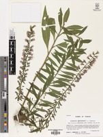 Holotype of Liatris gholsonii L.C. Anderson [family ASTERACEAE]