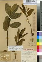 Holotype of Anisophyllea pochetii P.A.Duvign. & Dewit [family ANISOPHYLLEACEAE]