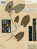 Holotype of Gonolobus rostratus (Vahl) R. Br. [family ASCLEPIADACEAE]