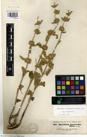 Isotype of Marrubium brachyodon Boiss. [family LAMIACEAE]