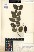 Filed as Canthium horizontale (Schumach.) Hiern [family RUBIACEAE]
