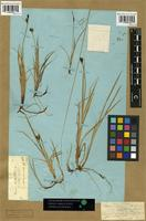 Syntype of Carex holostoma Drejer [family CYPERACEAE]